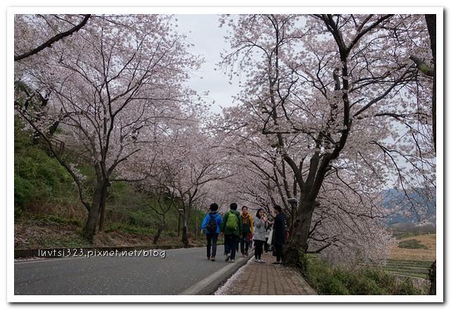 화개십리벚꽃길16