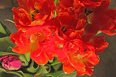 Group of orange tulips (joybidge) Tags: orange tulips tulip victoriabc inmygarden naturepatternscanada trishcanada tsapril122015