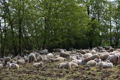 Sosta (lincerosso) Tags: primavera bellezza pecore sosta pastori gregge armonia transumanza mestieriantichi viadelfiume