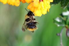 (bilska.anna) Tags: flower macro nature canon insect wildlife bee honey nectar pollen uknature ukwildlife flickrnature pllen natureuk flickrinsects flickrwildlife wildlifeuk ukbee beeuk