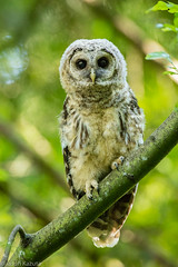148A0132 (Confusion_Circle) Tags: canon owl barred 5ds