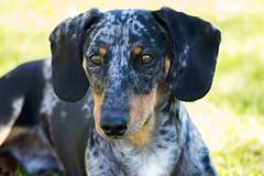 Kpers (__TOMS__) Tags: portrait dog pet animal spring nikon outdoor dachshund nikkor 55200mm d3200 vrii