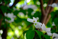 HIKARI 5May the light (Colorful-wind) Tags: wood blue light shadow white plant flower color tree green colors japan may fujifilm dogwood fukuoka lightandshadow 2016 kitakyusyu xti