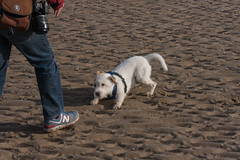 Wiggo on Broomhill Sands (ghostwheel_in_shadow) Tags: dog guy beach cambersands terrier jackrussell camber parsonrussell parsonrussellterrier broomhillsands guygoodwin wiggobeach