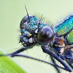 Dragonfly (pen3.de) Tags: omd em10ii zuiko 60mmmakro prachtlibelle libellenportt tautropfen wildlife naturlicht morgentau facettenaugen details