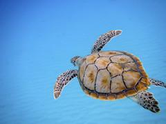 Underwater glide (Banana Muffin (Antonio)) Tags: blue sea beach nature swim seaside sand nikon underwater turtle barbados snorkelling caribbean trident glide rihanna aw100