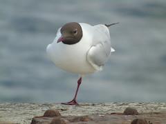 Black Headed Gull (stuartcroy) Tags: sea black bird beach beautiful island bay scotland orkney gull sony blackheadedgull