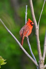 Male Cardinal (Chad Horwedel) Tags: tree male bird illinois cardinal malecardinal bolingbrook whalonlake
