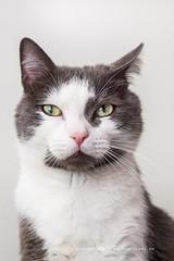 scoglionamento felino (smartyns76) Tags: portrait cats cat gatti animali anmals animalidomestici
