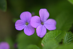 DSC_0183.NEF (tibal26) Tags: flower closeup natural x10