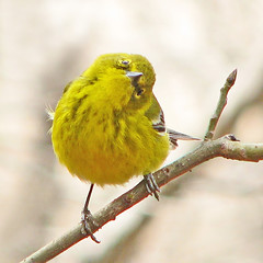 Mr. Pine warbler - back to Canada (Vicki's Nature) Tags: winter male yellow yard canon georgia bright s5 pinewarbler 3803 vickisnature