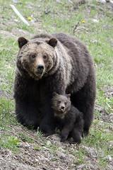 I said smile for the camera (jrlarson67) Tags: bear wild portrait brown animal cub nationalpark nikon wildlife yellowstone grizzly d500