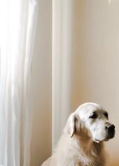 Teo (jmlopezto) Tags: dog pet goldenretriever pastel perro vanilla mascota vainilla