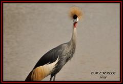 ADULT GREY CRESTED CROWNED CRANE BIRD (Balearica regulorum)......NAIROBI NAT. PARK......SEPT 2015. (M Z Malik) Tags: africa nikon kenya wildlife safari nairobinatpark d3x exoticafricanbirds exoticafricanwildlife 200400mm14afs