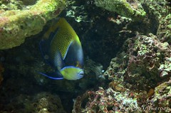 Droomkeizersvis - Pomacanthus navarchus -  Blue-girdled angelfish + bruine egelvis - Diodon holocanthus - longspined porcupinefish (MrTDiddy) Tags: fish angel zoo long antwerp spine porcupine vis angelfish antwerpen porcupinefish zooantwerpen droom keizer egel bruine diodon spined egelvis pomacanthus holocanthus longspined navarchus keizersvis bluegirdled droomkeizersvis