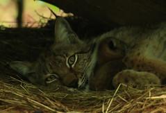Mère Lynx et ses petits (Carahiah) Tags: surveillance animaux rhodes bébé lynx mère saintecroix fière protectrice nouveauxnés parcanimalier premiersnés