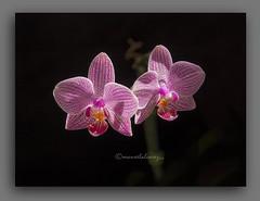 ORQUDEAS. (manxelalvarez) Tags: flores flora orqudeas