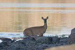 Who are you? (Tuomo Nyknen) Tags: swim suomi finland deer whitetailed whitetaileddeer odocoileusvirginianus peura valkohntpeura