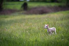 New born (Julie. D) Tags: baby cute nature animal countryside nikon bokeh farm newborn lamb tamron campagne ferme mouton champ babyanimal agneau 7020028 d7100 tamron70200