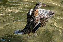 Luftschlger (Patrick29985) Tags: deutschland zoo tiere duck wings wasser schwimmen action sony hannover bewegung tele alpha tierpark tamron teich ente tier vogel watter telezoom niedersachsen flgel tamron70300 herrlich sonyalpha erlebniszoo sonyalpha77ii