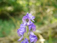 Monkshood (Cefn Ila) Tags: plant monkshood aconitumnapellus shirenewton mountonbrook