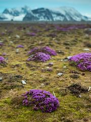 Saxifrage (Craig Hemsath) Tags: snow nature norway lumix panasonic svalbard arctic micro g6 43 linblad 1235 expeditions mirrorless