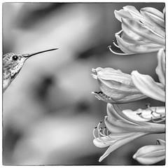 DSC_6432-Edit-1 (craigchaddock) Tags: agapanthus sandiegozoo lilyofthenile allenshummingbird selasphorussasin