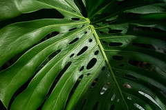 Leaf (epemsl) Tags: leaf philodendron monstera