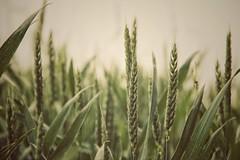 silenzio (***toile filante***) Tags: summer nature corn cornfield sommer natur silence stille getreide gertreidefeld