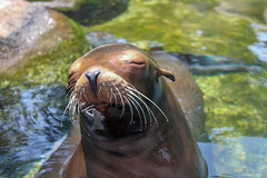 Sea lion (mattpacker1978) Tags: sea lion water nature sun relaxing nyc zoo centralpark whiskers cute