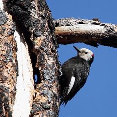 White-headed whoodpecker (jlcummins - Washington State) Tags: bird nature washingtonstate yakimacounty bethelridge