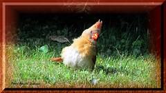 Cardinal femelle (cginettelemieux) Tags: cardinale femelle