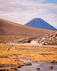 Llamas (ckocur) Tags: chile atacama sanpedrodeatacama northernchile atacamadesert