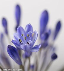 IMG_0219 (A.J. Boonstra) Tags: plant flower macro blossom bokeh pastel whitebackground agapanthus deptoffield ef100mmf28lmacroisusm canon70d oragnicpattern falconeyesssk2150d agapanthusjohanna