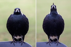 Australian Magpie (satochappy) Tags: park blackandwhite sydney australia sing nsw magpie meadowbank australianmagpie