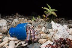 blue cap - Hermit crabs with trash homes (Okinawa Nature Photography) Tags: lightandmotion stella2000 canonoutdoors canon70d environmental crabsofjapan crabswithbeachtrashhomes crustaceans okinawanaturephotography northerokinawa kunigamisan wideanglemacro tokina1017mm kenko diffusion flash beachtrash crabsinplastic adaptation adaptivebehaivor