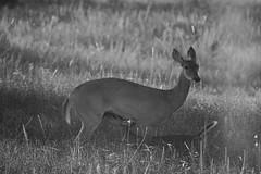 Breakfast! (Kreative Capture) Tags: texas whitetail deer doe young nursing milk blackandwhite field nature grass nikon d7100 fawn baby outdoor animals monochrome animal mammals