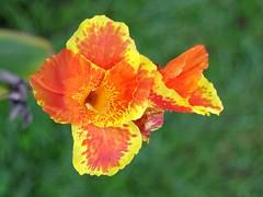 Canna Lily (bamboosage) Tags: mamiya macro sekor 60 28 preset m42 11macro