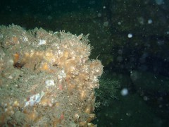 CEFASG 2 (bloomspix) Tags: seasearch underwater englishchannel swanage