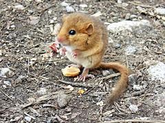 Hazel dormouse (Muscardinus avellanarius) bigger than inch. Eating half a peanut. Лешников сънливец  под 4 см яде половин фъстък, подхвърлен от хората. (Me now0) Tags: mountain hair golden nikon inch europe sofia eating small mount eat bulgaria hazel coolpix peanut mustache dormouse планина liulin българия софия европа никон мустаци muscardinusavellanarius hazeldormouse люлин l330 яде фъстък лешников 3см nikoncoolpixl330 златиста козина сънливец лешниковсънливец