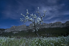 Bloom ( alfanhu) Tags: nightshot bloom nocturna nocturn floraci finestrat castellets puigcampana kssalla