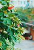 Rising  Growing  Til you know what you are truly finding for (iSam's) Tags: flowers red plants sony honeysuckle creeper rangoon 2015 indicum isam combretum a6000