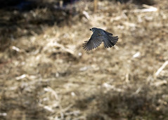"Titmouse in flight 2 • <a style=""font-size:0.8em;"" href=""http://www.flickr.com/photos/30765416@N06/16720834050/"" target=""_blank"">View on Flickr</a>"