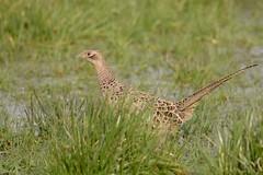 DSC_3649 fazant hen (Phasianus colchicus)