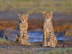 Adorable (John Kok) Tags: tanzania cheetah acinonyxjubatus ndutu serengetiundercanvas february2015 nikkor80056evr