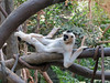 White-Cheeked Gibbon (1) (bookworm1225) Tags: zoo march minnesotazoo 2015 tropicstrail minnesotatrail