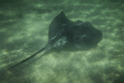 Smooth stingray [Dasyatis brevicaudata] #3, Norfolk Bay, Tasman Peninsula