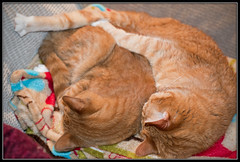A Nap for Two (gtncats) Tags: sleeping cats pets tabbies napping loved catnapping ef50mmf14usm orangetabbies canon70d photographyforrecreation infinitexposure
