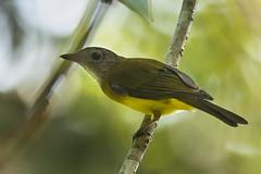 Yellowish Bulbul - Philippines_H8O1414 (fveronesi1) Tags: birds asia philippines mindanao 125bulbuls 115yellowishbulbul