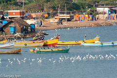 Egrets & herons witing for the day's catch to be unloaded (S Sanjay Iyer) Tags: seascape landscape flickr cannanore